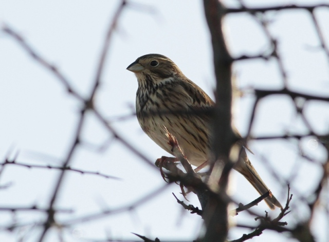 Corn Bunting norfolk jan13