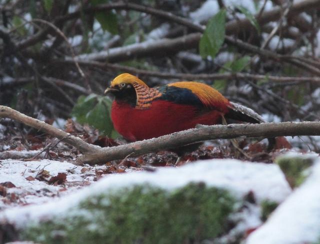 Golden Pheasant Wolferton jan 13