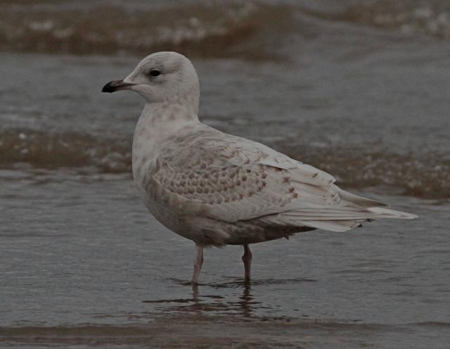 Interesting Iceland Gull  a Brid. 13.1.13