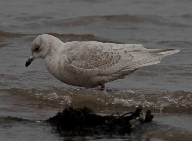Interesting Iceland Gull  b Brid. 13.1.13