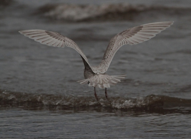 Interesting Iceland Gull  d Brid. 13.1.13