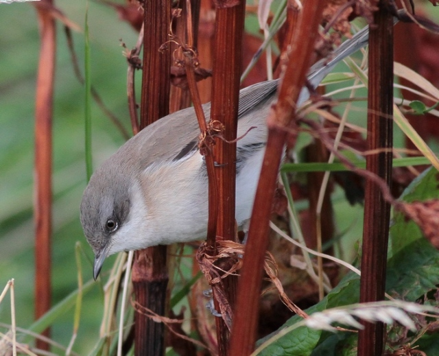 Lesser Whitethroat Unst g 8.10.12