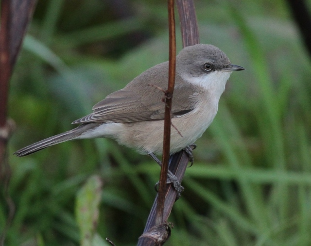Lesser Whitethroat Unst n 8.10.12