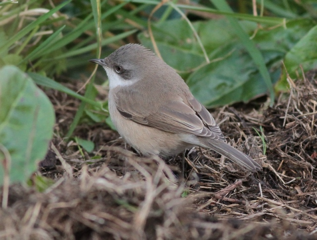 Lesser Whitethroat Unst o 8.10.12