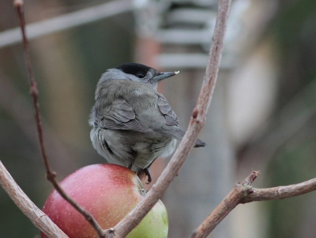 male blackcap 2