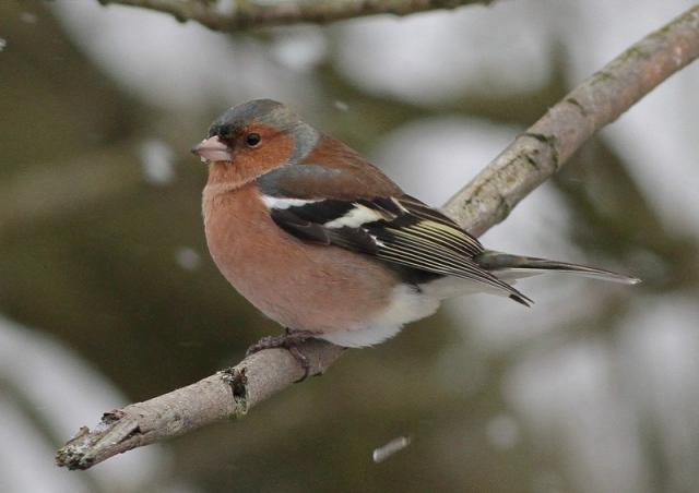 male Chaffinch 15.1.13