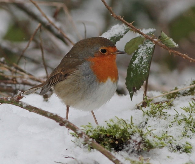 robin in snow 15.1.13