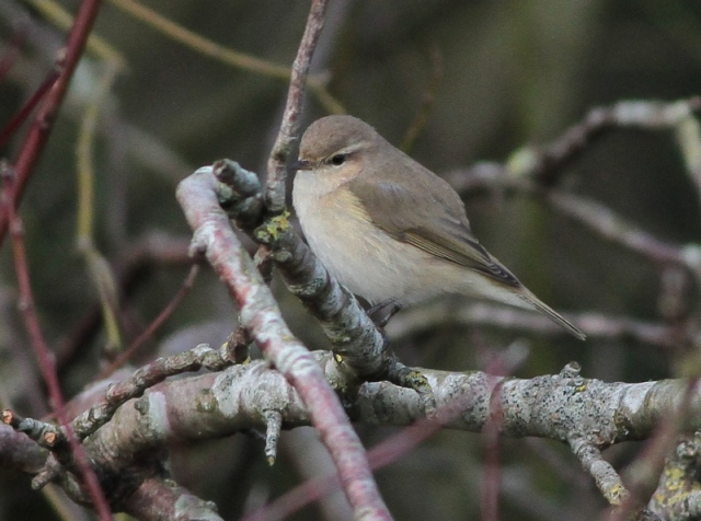 Sib Chiff new bird i Poole 31.1.13