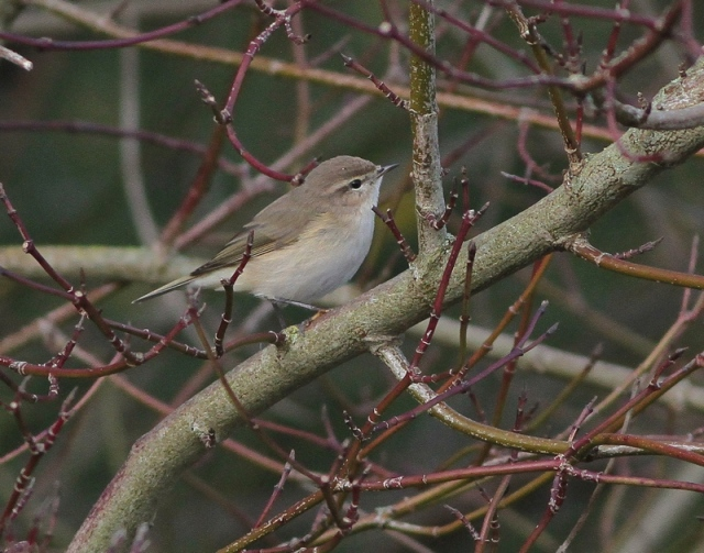 Sib Chiff new bird Poole 31.1.13