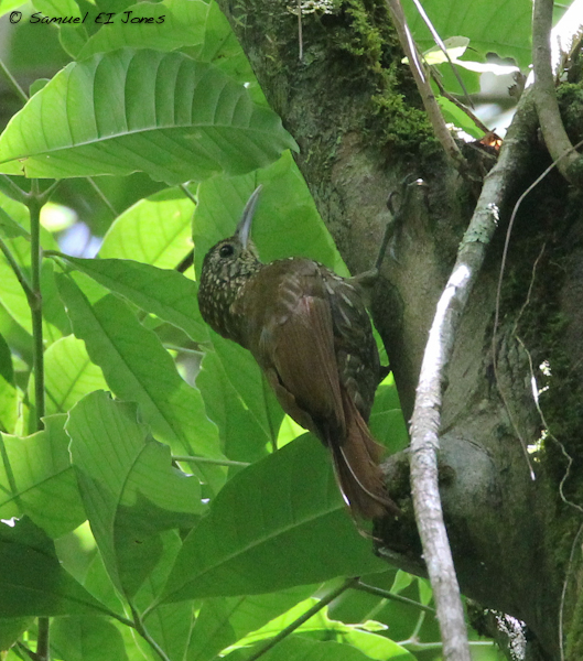 Spot-crowned Woodcreeper- the thin, black malar strip is jus visible in this photo, one of the distinguishing features from the similar Streak-headed Woodcreeper