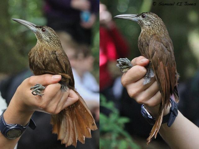 Trepatroncos gigante-. Este individuo era una hembra con un parche de incubación en recuperación, P1 también se encontraba en muda simétrica indicando que el ave comenzaba su rutinaria muda pos-reproductiva.