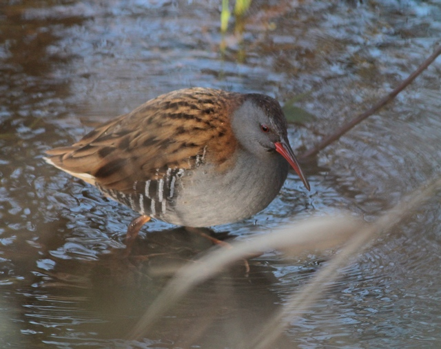 Water Rail titchwell jan 13