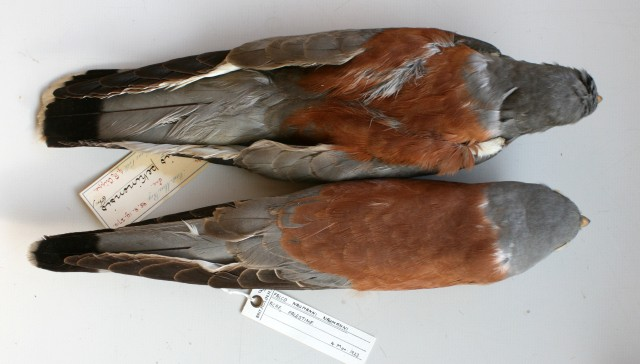 "Falco naumanni ""pekinensis"" – adult ♂ compared with an ad. ♂ from Palestine which is labeled with the trinomial nomenclature Falco naumanni naumanni , collected on 1923. Note the differences in saturation and colour tinge/hue of upperparts. Photo: © A.Corso - courtesy of NHM, Tring"