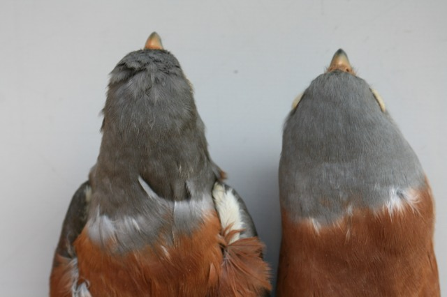 Close view of the head of same birds of fig.11 to show the grey hood paler in naumanni. Photo: © A.Corso - courtesy of NHM, Tring