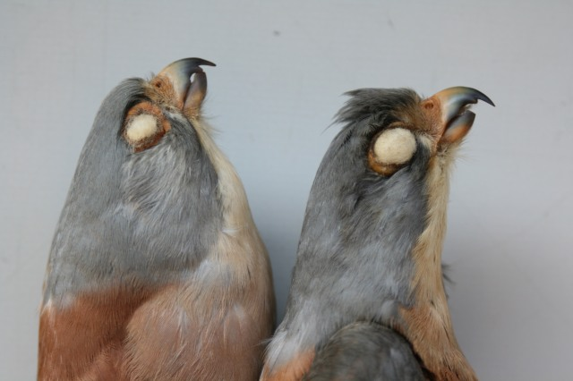 Again same birds in lateral view. Photo: © A.Corso - courtesy of NHM, Tring