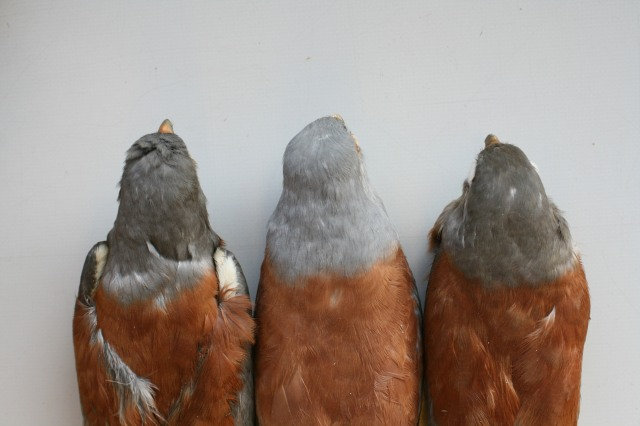 """13. An adult ♂ Falco n. naumanni (centre) compared with two ad. ♂♂ """"pekinensis"""" from China, to show how much paler pearl grey is the hood and less saturated, less rusty-vinous but more pinkish tinged is the mantle of the Western taxon or form (all Spring birds). Photo: © A.Corso - courtesy of NHM, Tring"""