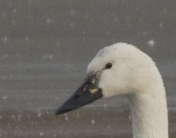 2012-12-11 Whistling Swan close up left side