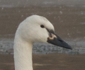 2012-12-11 Whistling Swan close up right side