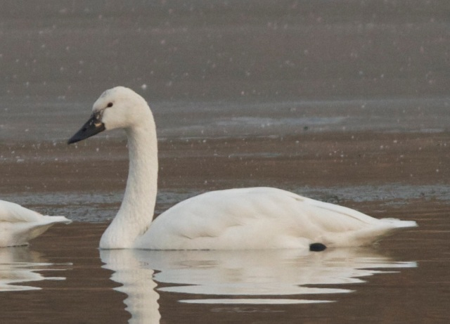 Putative Whistling Swan, Beijing, 11 December.