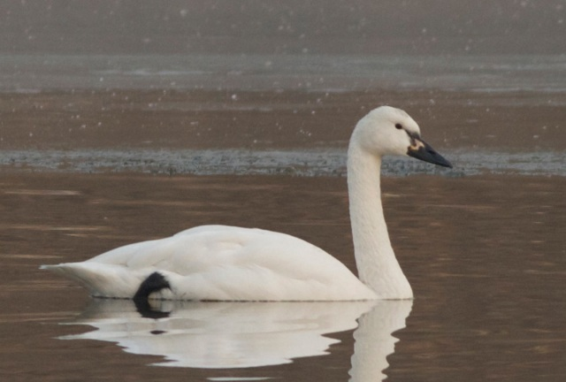 2012-12-11 Whistling Swan right side