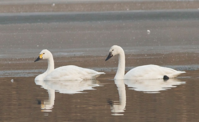 2012-12-11 Whistling Swan