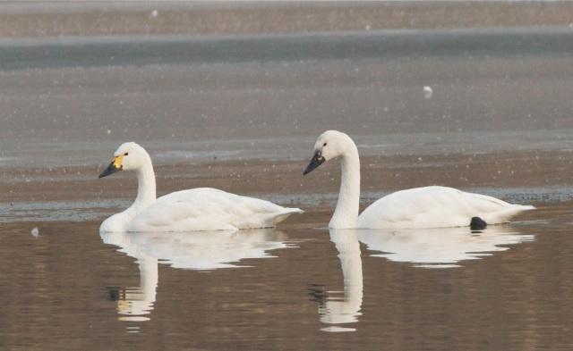 2012-12-11 Whistling Swan