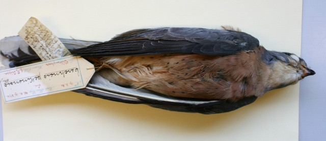 """3.Falco naumanni """"pekinensis"""" – adult ♂ .Note the deeply saturated underparts. Photo: © A.Corso - courtesy of NHM, Tring"""