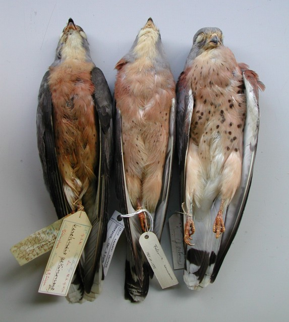 "7.Falco naumanni ""pekinensis"" – 3 adult ♂♂. Note the same typical characters in all three adult males, visibly different from any Western Lesser Kestrel. Photo: © A.Corso - courtesy of NHM, Tring"