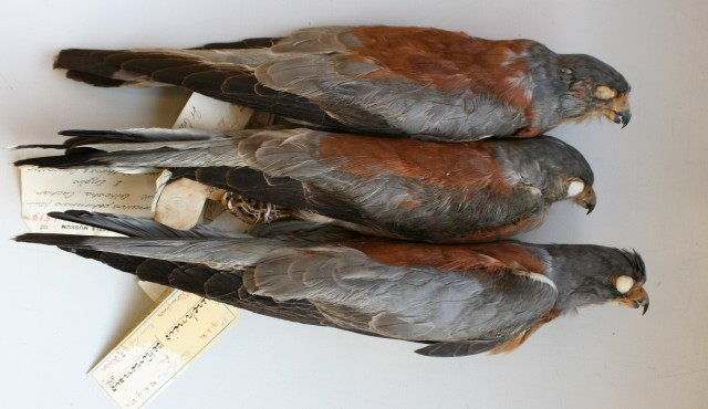 "8.Falco naumanni ""pekinensis"" – 3 adult ♂♂. Note the same typical characters in all three adult males, visibly different from any Western Lesser Kestrel. Photo: © A.Corso - courtesy of NHM, Tring"