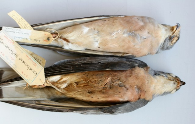 "9.Falco naumanni ""pekinensis"" – adult ♂ compared with an ad. ♂ from Mesopotamia labeled with the trinomial Falco n. naumanni. Photo: © A.Corso - courtesy of NHM, Tring"