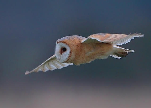 darkish Barn Owl 2013 02 16 East Sussex Feb 2013