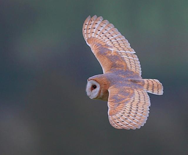 darkish Barn Owl b 2013 02 16 East Sussex Feb 2013