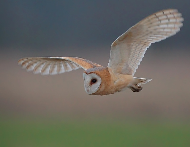 darkish Barn Owl c 2013 02 16 East Sussex Feb 2013