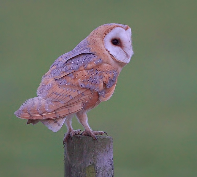 Darkish Barn Owl east sussex feb 13 d