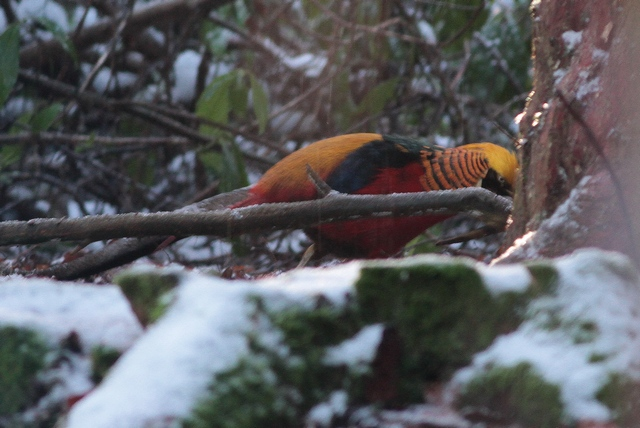Golden Pheasant Wolferton b jan 13
