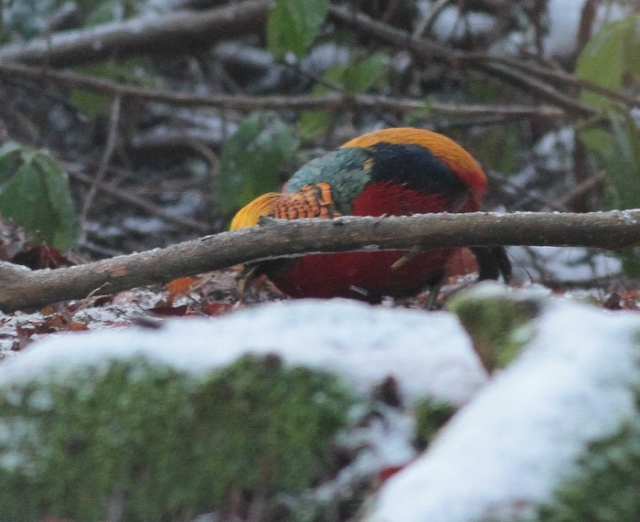 Golden Pheasant Wolferton e jan 13