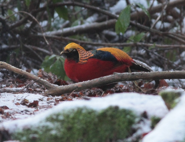 Golden Pheasant Wolferton jan 13