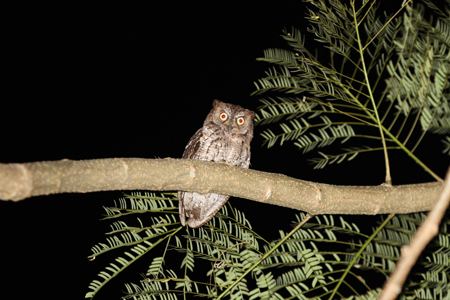 Lombok Scops Owl_R Hutchinson_Gunung Rinjani_June 2011 (4) LOW RES