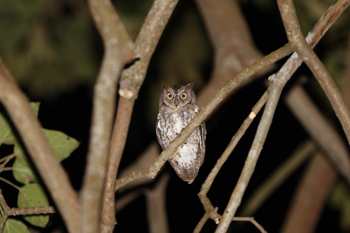 Lombok Scops Owl_R Hutchinson_Gunung Rinjani_June 2011 (5) LOW RES