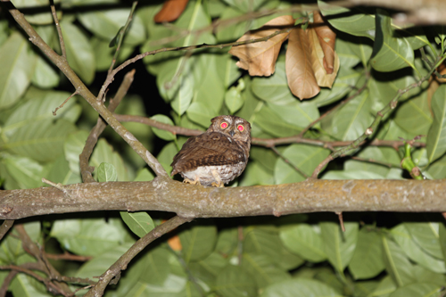 Lombok Scops Owl_R Hutchinson_Gunung Rinjani_June 2011 LOW RES
