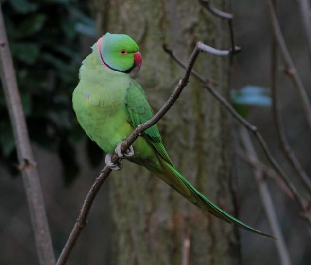 ring necked parakeet 1