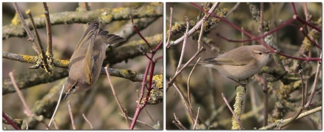 Sib Chiff first bird 2013-02-14_062803
