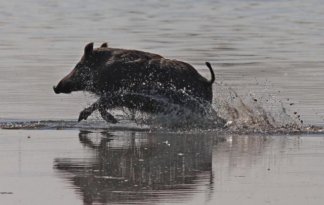 wild boar 2