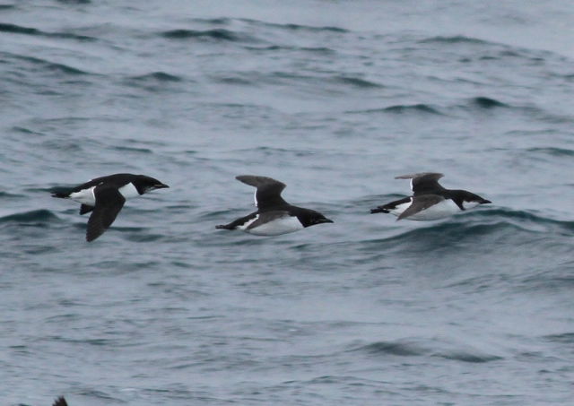 3 plumages Brunnich's guillemot