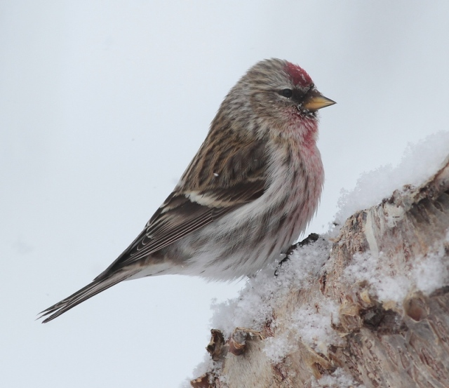 ad male mealy redpoll