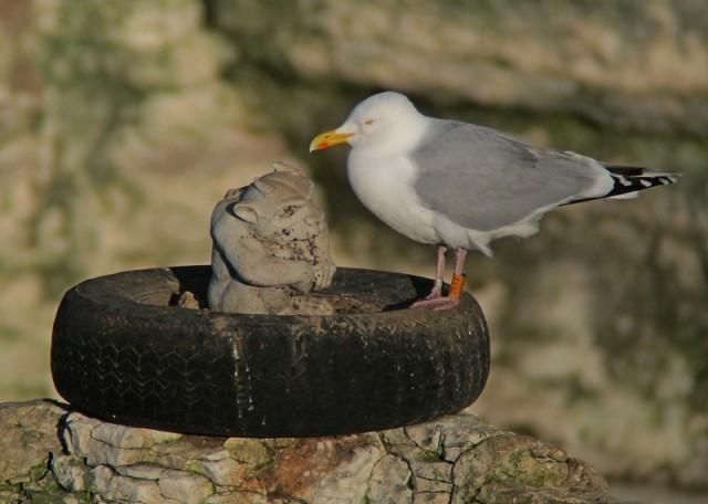 b Herring Gull stack