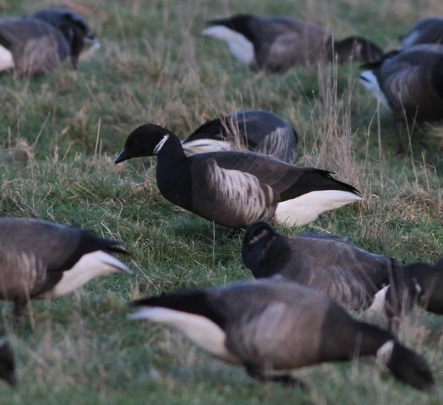 Black brant hybrid lone bird b
