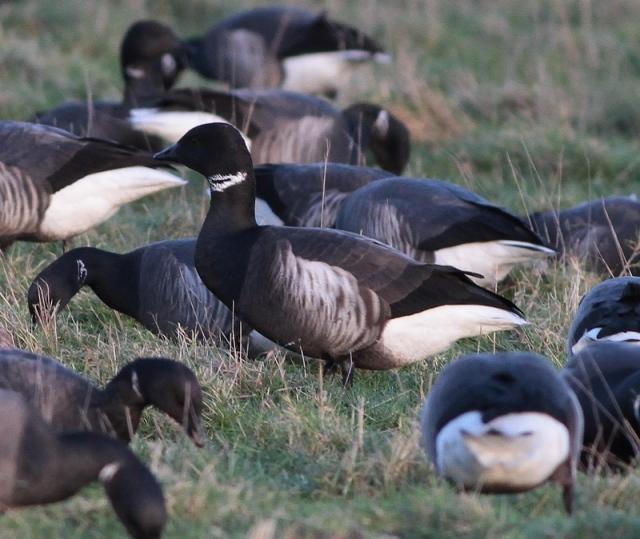 Black brant hybrid lone bird e