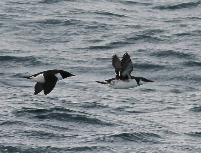 Brunnich's and Common Guillemot 2