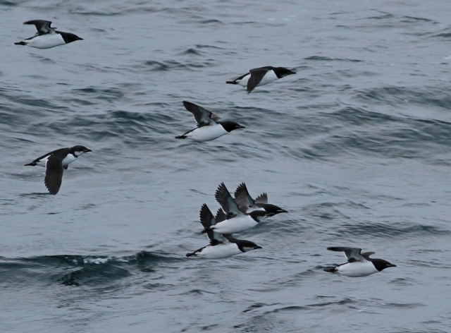 Brunnich's Guillemot flight 2
